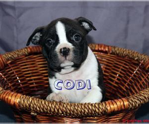 Boston Terrier Puppy for sale in PORT RICHEY, FL, USA