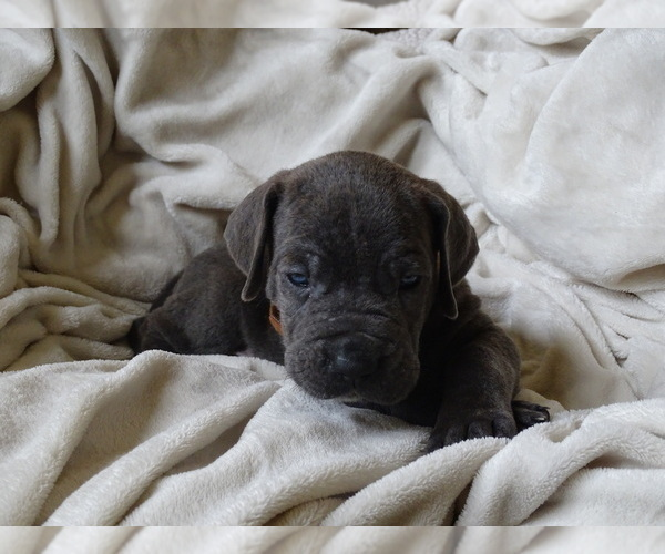 Medium Photo #6 Cane Corso Puppy For Sale in SAN ANTONIO, TX, USA
