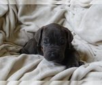Small Photo #6 Cane Corso Puppy For Sale in SAN ANTONIO, TX, USA