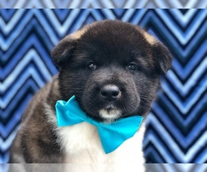 Akita Puppy for sale in MYERSTOWN, PA, USA