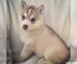 Puppy 3 Siberian Husky