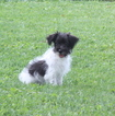 Jack Russell Terrier-Poodle (Toy) Mix Puppy For Sale in GAP, PA, USA