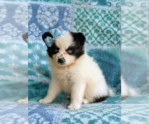 Pomsky Puppy for sale in CHRISTIANA, PA, USA