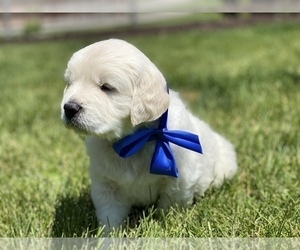 English Cream Golden Retriever Puppy for sale in SUGAR CITY, ID, USA