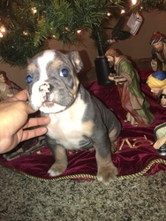 Bulldog Puppy For Sale in SALT LAKE CITY, UT, USA