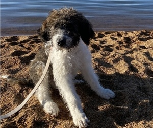 Saint Berdoodle Puppy for sale in SACRAMENTO, CA, USA
