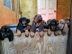 Bloodhound Puppy For Sale in MECHANICSVILLE, VA, USA