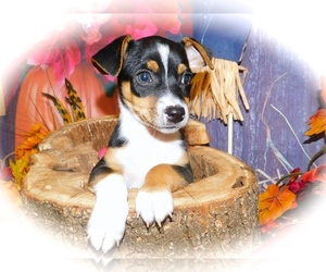 Rat Terrier-Ratshire Terrier Mix Puppy for Sale in HAMMOND, Indiana USA