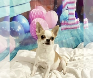 Chihuahua Dog for Adoption in MIDDLEBURG, Florida USA