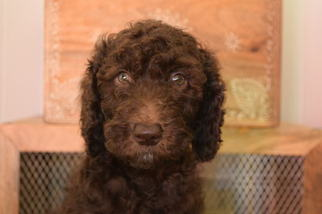 Poodle (Standard) Puppy For Sale in SANFORD, NC, USA