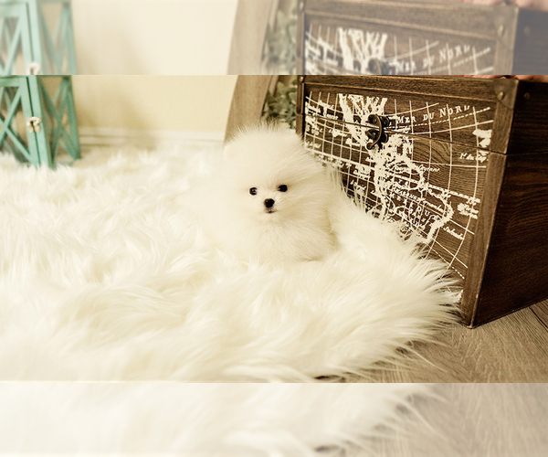 Medium Photo #4 Poodle (Standard) Puppy For Sale in LAS VEGAS, NV, USA