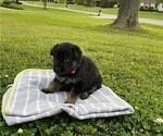 Puppy 0 German Shepherd Dog