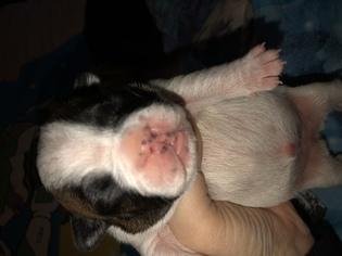French Bulldog Puppy For Sale in LAKE, MI, USA