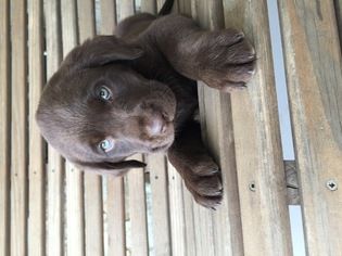 Labrador Retriever Puppy For Sale in OKLAHOMA CITY, OK