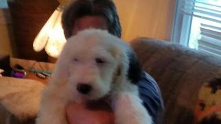 Old English Sheepdog Puppy For Sale in RIDGEFIELD, WA, USA