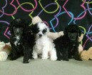 Poodle (Toy) Puppy For Sale in WINSTON SALEM, NC, USA