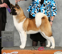 Akita Puppy For Sale in PORT CHARLOTTE, FL, USA