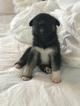 Beagle-Siberian Husky Mix Puppy For Sale in CHARLESTON, SC, USA