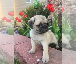 Pug Puppy for sale in NORTH AURORA, IL, USA