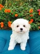 Adorable Maltese Pup