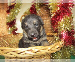 German Shepherd Dog Puppy for sale in ADRIAN, MI, USA
