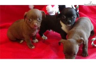 Chihuahua Puppy For Sale in SAINT LOUIS, MO, USA