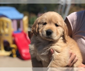 Golden Retriever Puppy for sale in WESTLAKE VILLAGE, CA, USA