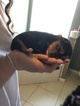 Morkie Puppy For Sale in PORT SAINT LUCIE, FL