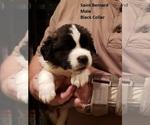 Puppy 4 Saint Bernard