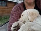 Golden Labrador-Golden Shepherd Mix Puppy For Sale in TORRANCE, CA, USA
