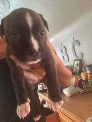American Pit Bull Terrier Puppy For Sale in MINNEAPOLIS, MN