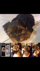 Yorkshire Terrier Puppy for sale in COLTON, CA, USA