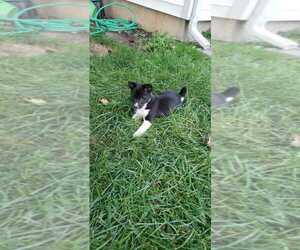 Shiba Inu Puppy for sale in GOSHEN, IN, USA