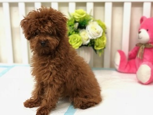 Puppyfindercom Poodle Toy Puppies Puppies For Sale Near
