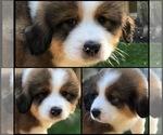 Puppy 7 Great Bernese
