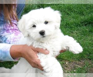 Coton de Tulear Puppy for sale in COLUMBIA, MO, USA