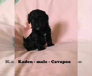 Cavapoo Dog for Adoption in CLARKRANGE, Tennessee USA