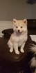 Pomsky Puppy For Sale in WAVERLY, KY, USA