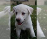 Puppy 3 Labrador Retriever-Siberian Husky Mix