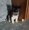 Akita Puppy For Sale in ARTHUR, Illinois,