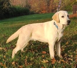Labrador Retriever Puppy For Sale in SAINT LOUIS, MO, USA