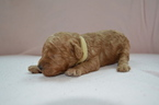 Poodle (Toy) Puppy For Sale in WHITE PLAINS, MD