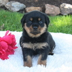 Rottweiler Puppy For Sale in GAP, PA,