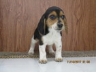 Beagle Puppy For Sale in STONEFORT, IL,