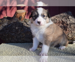 English Shepherd Puppy for Sale in LAKE WILDWOOD, California USA