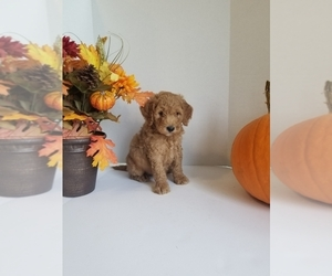 Bernedoodle-Goldendoodle Mix Puppy for Sale in STEPHENS CITY, Virginia USA