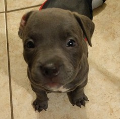 American Staffordshire Terrier Puppy For Sale in TAMPA, FL, USA