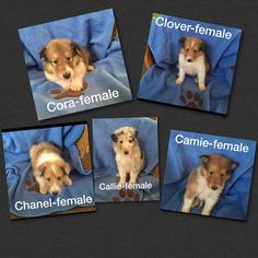 Collie Puppy for sale in ADAMSVILLE, OH, USA