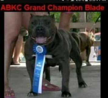 Medium Photo #7 American Bully Puppy For Sale in BOULEVARD, NY, USA