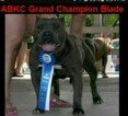 Small Photo #7 American Bully Puppy For Sale in BOULEVARD, NY, USA